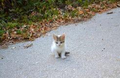 小猫一点甜白色 库存照片