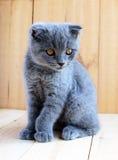 小猫与播种的耳朵的苏格兰人品种 仔细手表 免版税库存照片