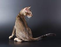 小猫东方人 库存图片