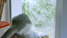 小猫使用捉住在窗口的一次飞行 小猫宠物演奏滑稽的宠物 影视素材