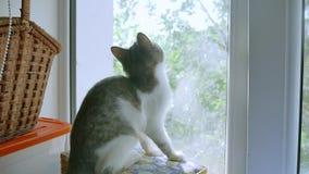小猫使用捉住在窗口的一次飞行 小猫宠物演奏滑稽 影视素材