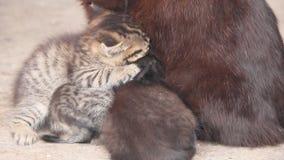 小猫吮母亲猫的牛奶 影视素材
