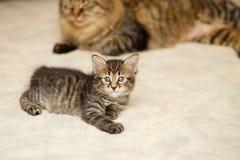 小猫和妈妈猫 免版税库存图片