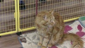 小猫品种缅因库恩 股票录像