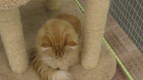 小猫品种缅因库恩 股票视频