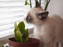 小猫品种雪靴,两monthes,嗅植物 库存照片