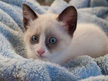 小猫品种雪靴,两monthes 免版税库存照片