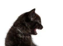 黑小猫哭泣 库存照片