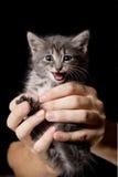 小猫喵喵叫 免版税库存图片