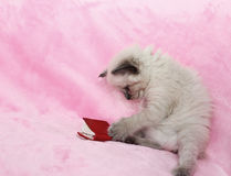 小猫在桃红色背景的阅读书 免版税库存照片