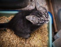 小猫在洗手间排粪 免版税库存照片