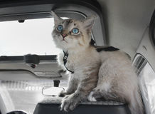 小猫坐坐在汽车 免版税图库摄影