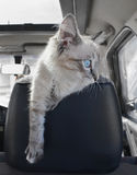 小猫坐汽车 免版税库存图片