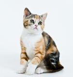 小猫坐的白色 免版税库存图片