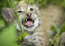 小猫天猫座 库存图片