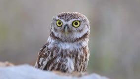 小猫头鹰大声嚷雅典娜的小猫头鹰偷看从石头的后面和 股票视频