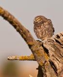 小猫头鹰害怕的年轻人 免版税库存图片
