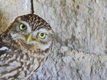 小猫头鹰眼睛 库存图片