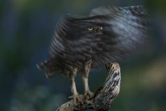小猫头鹰黑暗的画象年轻人  免版税库存照片
