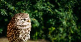 小猫头鹰 野生鸟 免版税图库摄影