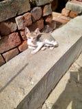 小猫姿势 免版税库存照片