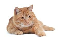 小猫嬉戏的红色 库存照片