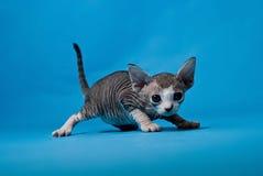 小猫少许狮身人面象 库存图片