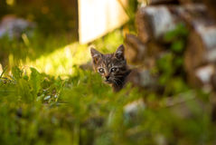 小猫戒备 库存图片