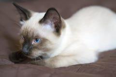 小猫暹罗类型,湄公河短尾在盖子说谎 图库摄影