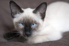 小猫暹罗类型,湄公河短尾在盖子说谎 免版税库存图片