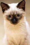 小猫暹罗语的一点 免版税图库摄影