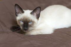 小猫暹罗类型,湄公河短尾在盖子说谎并且打盹 库存照片