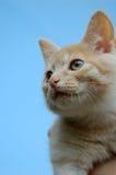 小猫橙色纵向平纹 库存图片