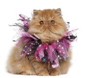小猫波斯桃红色丝带佩带 免版税图库摄影
