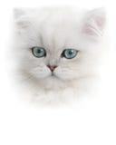 小猫波斯白色 免版税库存图片