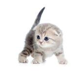 小猫灰色月好老一苏格兰人 库存图片