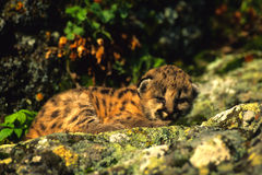 小猫狮子山 免版税库存图片