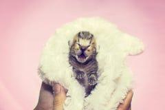 小猫猫叫呼喊纯血统的动物小猫 免版税图库摄影