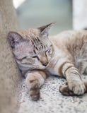 小猫白色灰色猫睡觉 库存图片