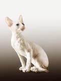 小猫白色 图库摄影