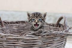 小猫的咆哮声 免版税库存图片