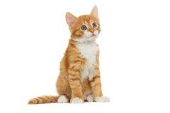 小猫看 免版税库存图片