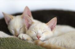 小猫睡觉 库存图片
