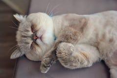小猫睡觉 免版税库存图片