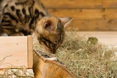 小猫离开箱子,在右边那里是题字的一个地方 免版税库存照片