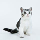 小猫等待 库存照片