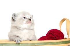 小猫老三个星期 免版税库存照片