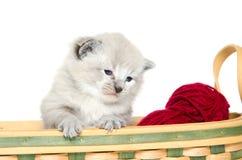 小猫老三个星期 库存图片