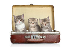 小猫老苏格兰手提箱 免版税图库摄影