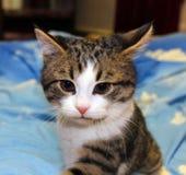小猫耳朵,颊须,桃红色鼻子嬉戏的神色  图库摄影